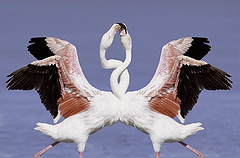 Flamingo – Flamenko